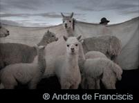 ® Andrea Franciscis