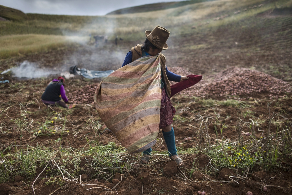 Farmers harvest potatoes, outside Cusco, Peru, on Monday, May 18, 2015. Farmers say the rains have started to come at strange times of the year which creates diseases or disappearing varieties. Potato is the third most important crop in the world, after rice and wheat.