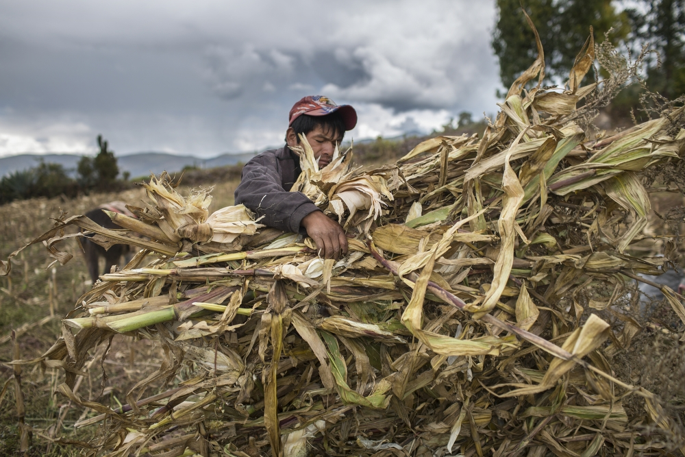"""A farmer carries a bundle of dried corn stalks during maize harvest, outside Cusco, Peru, on Monday, May 18, 2015. The cultivation of """"giant white maize"""" in the Cusco region can be traced to the Columbian era (or before 1492). Traditional knowledge of farming has been passed down generations of families. Because of the specific geo-climatic quality of this area, Cusco's giant white maize has developed a distinctive flavor and texture."""